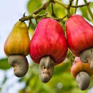 Les valeurs nutritionnelles des noix de cajou